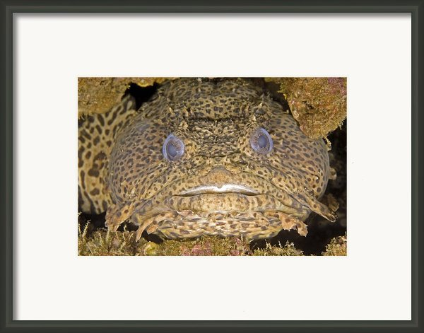Leopard Toadfish Framed Print By Clay Coleman