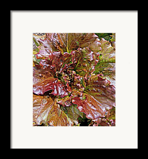 Lettuce Framed Print By Mindy Newman