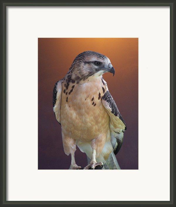 Light Morph Immature Swainsons Hawk Framed Print By Ernie Echols