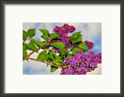 Lilacs Framed Print By Catherine Reusch  Daley