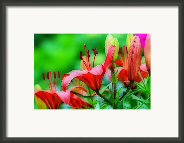 Lilies Ascending Framed Print By Fraida Gutovich