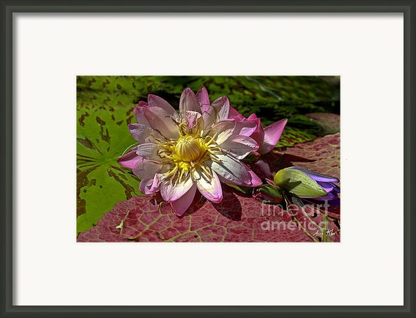 Lilies No.19 Framed Print By Anne Klar