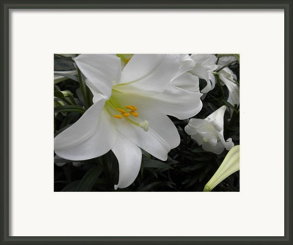 Lilies Framed Print By Silvie Kendall