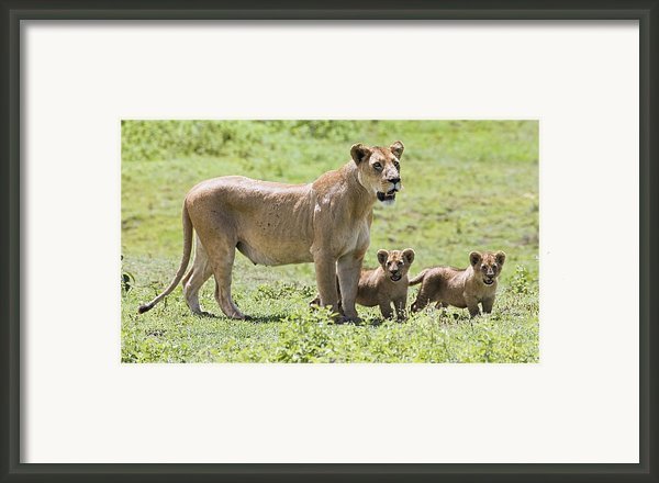 Lioness With Cubs Framed Print By Carson Ganci