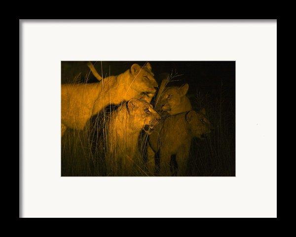 Lions At Night Framed Print By Carson Ganci