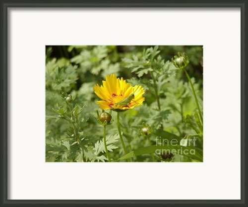 Little Green Grasshopper Framed Print By Lynn-marie Gildersleeve