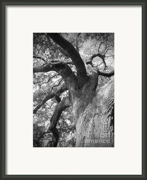 Live Oak Framed Print By Waverley Dixon