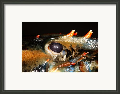 Lobster Eye Framed Print By Ted Kinsman