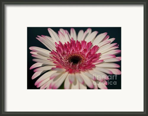 Lollipop Gerbera Framed Print By Amanda Barcon