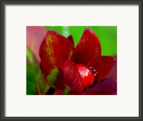 Lollypop Framed Print By Louie Rochon