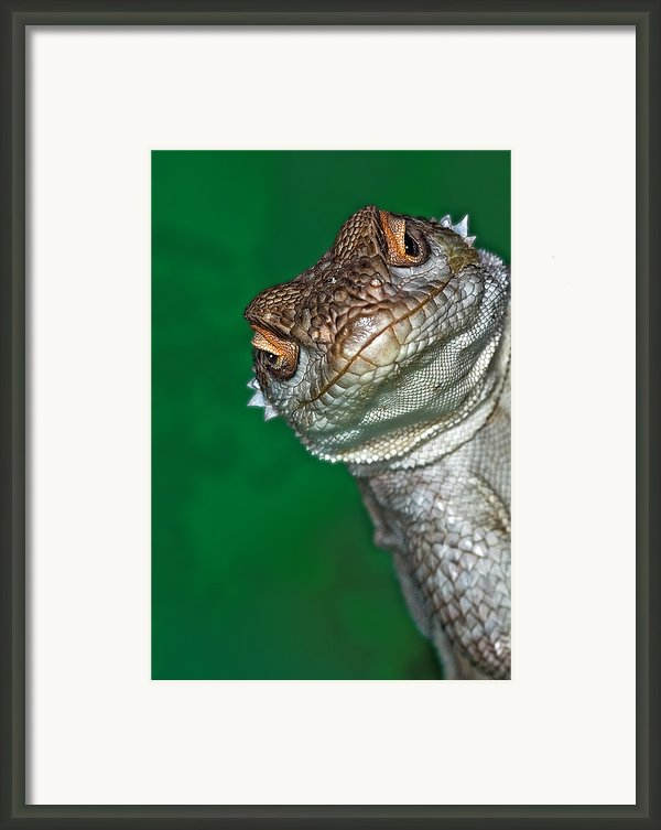 Look Reptile, Lizard Interested By Camera Framed Print By Pere Soler