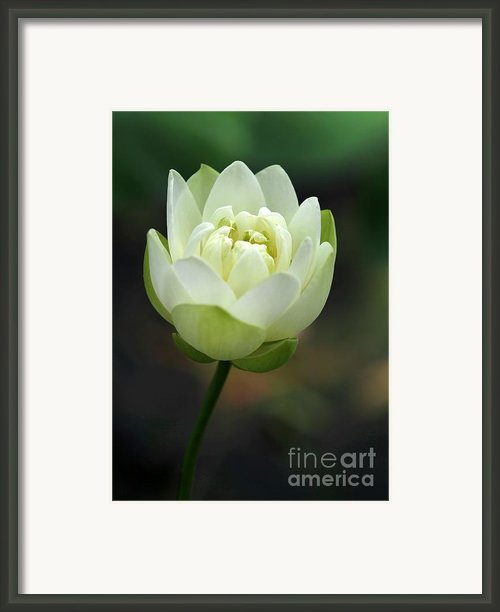 Lotus Blooming Framed Print By Sabrina L Ryan