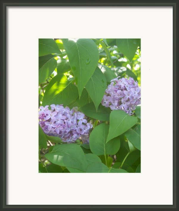 Lovely Lilacs 2 Framed Print By Anna Villarreal Garbis