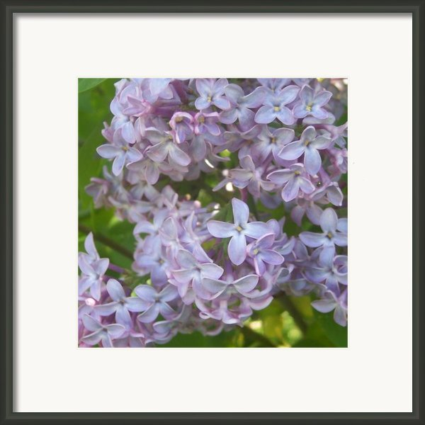 Lovely Lilacs Framed Print By Anna Villarreal Garbis