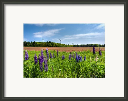 Lupins In A Field Framed Print By Matt Dobson