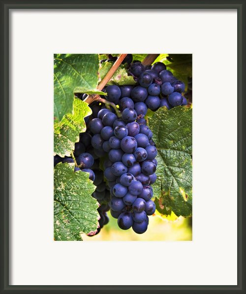 Luscious Grape Cluster Framed Print By Marion Mccristall