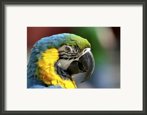 Macaw Framed Print By Richard Gregurich