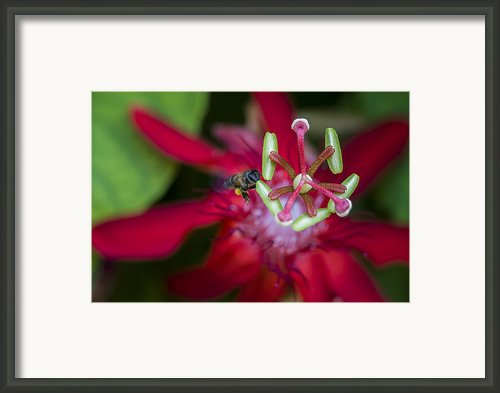 Macro Photograph Of A Bee Collecting Pollen. Framed Print By Zoe Ferrie