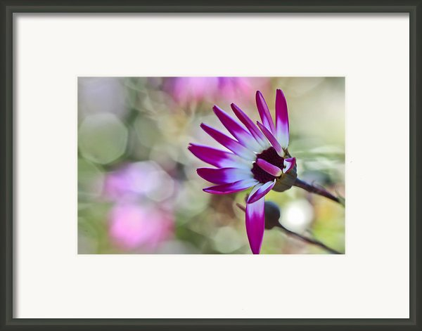 Magenta Framed Print By Heidi Smith