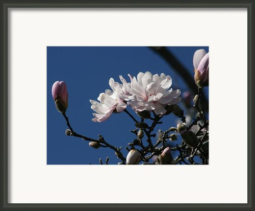 Magnolia World Of Beauty Framed Print By Valia Bradshaw