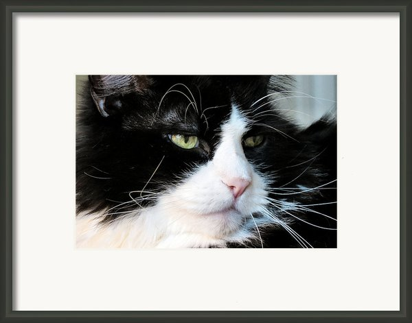 Maine Coon Face Framed Print By Michelle Milano