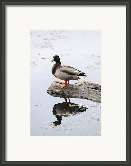 Male Mallard Duck With His Reflection Framed Print By Darlyne A. Murawski