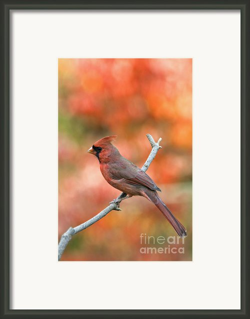 Male Northern Cardinal - D007810 Framed Print By Daniel Dempster