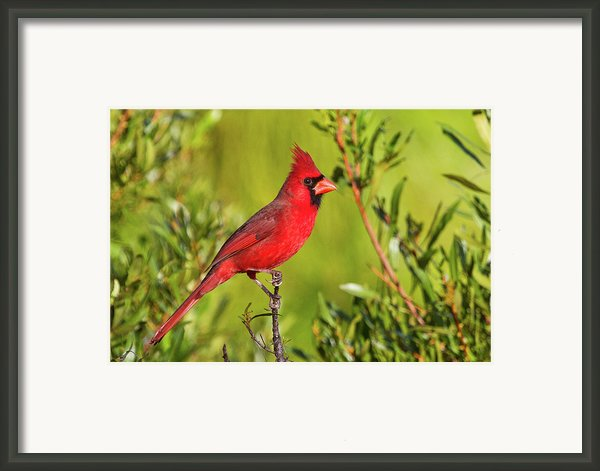 Male Northern Cardinal Framed Print By Andy Morffew