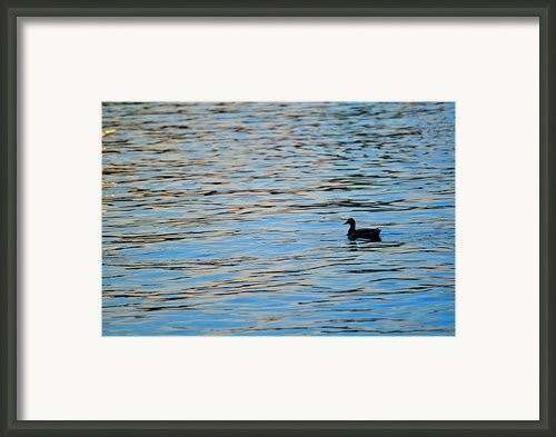 Mallard Duck And Blue Water Framed Print By Marianne Campolongo