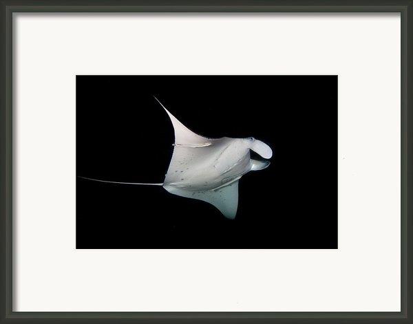 Manta Ray Framed Print By James R.d. Scott