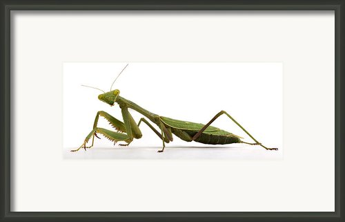 Mantis Framed Print By Jim Speth