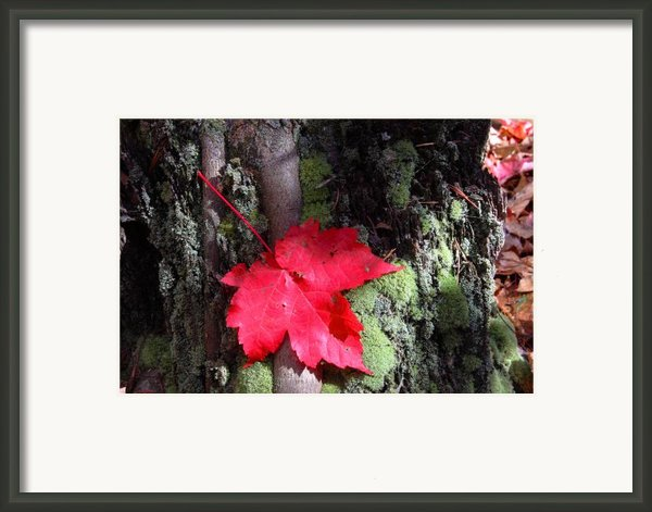 Maple Leaf Still Life Framed Print By Charles Warren