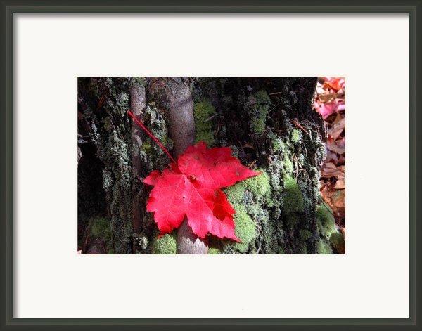 Maple Leaf Still Life Framed Print By Charles Warren