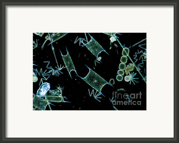 Marine Phytoplankton Framed Print By Dp Wilson And Photo Researchers