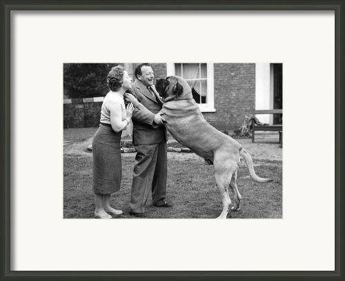 Massive Mastiff Framed Print By Keystone