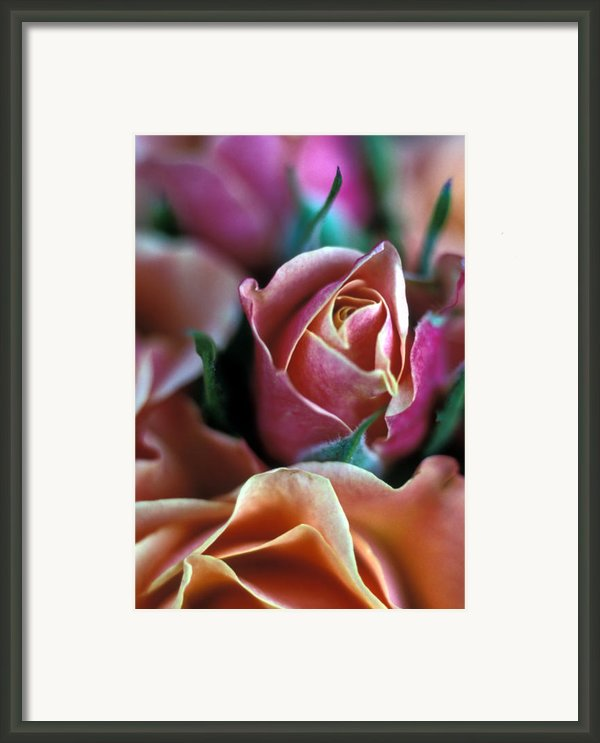 Mauve And Peach Roses Framed Print By Kathy Yates