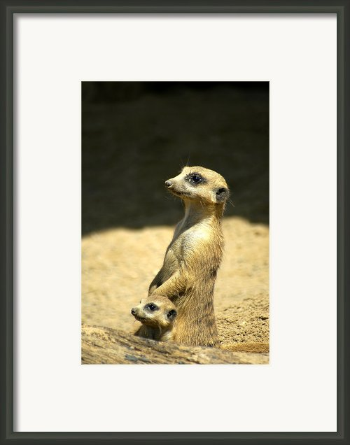 Meerkat Mother And Baby Framed Print By Carolyn Marshall