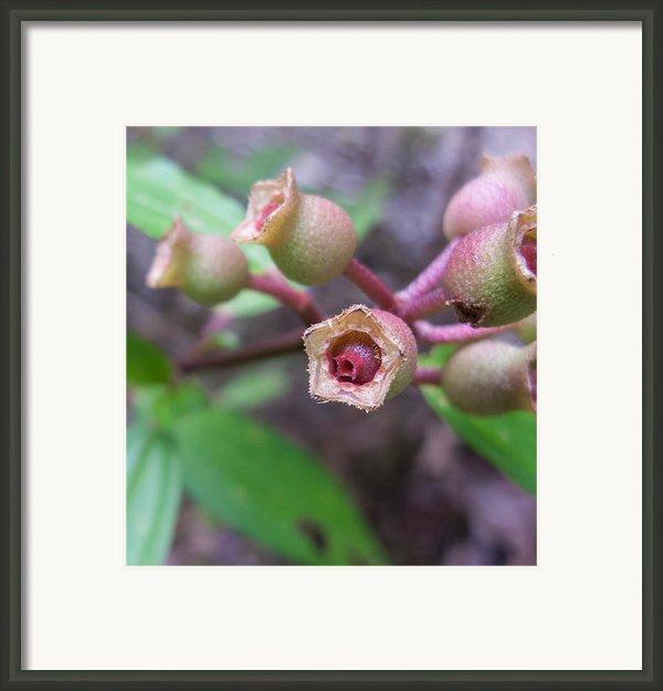 Melastoma Villosum Framed Print By Nawarat Namphon