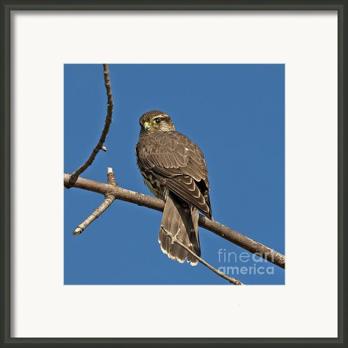 Merlin... Framed Print By Nina Stavlund