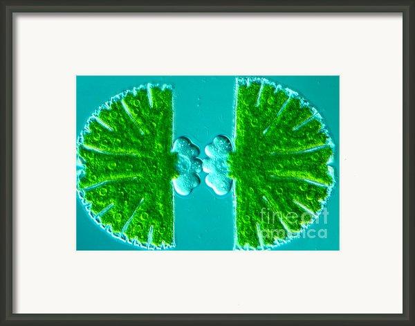 Micrasterias Sp Framed Print By M. I. Walker