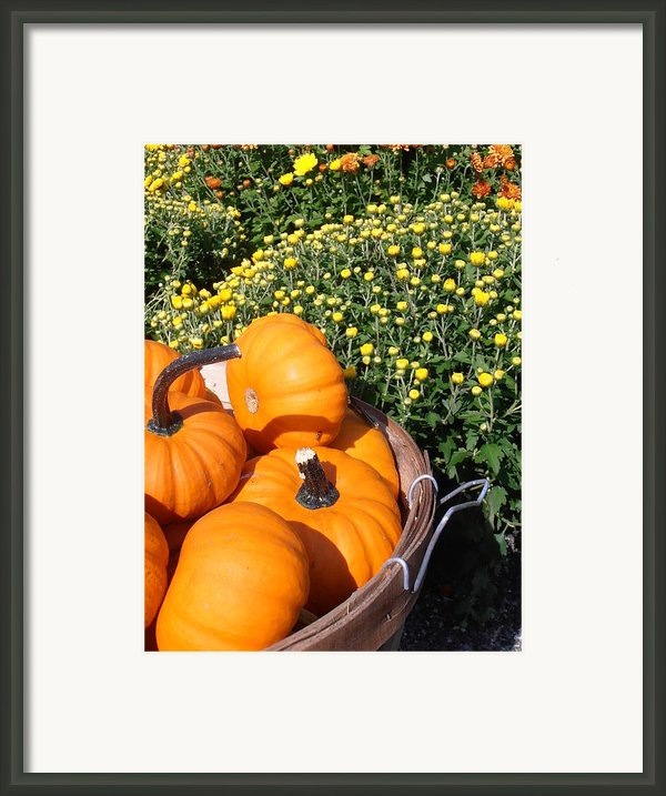 Mini Pumpkins Framed Print By Kimberly Perry