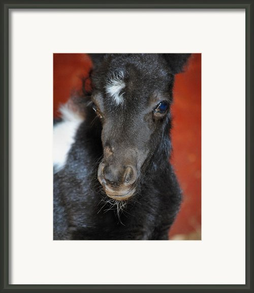 Miniature Pony Portrait Framed Print By Jai Johnson