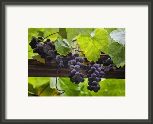 Mission Grapes Framed Print By Sharon Foster
