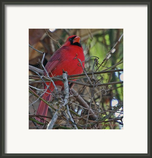 Mister Cardinal Framed Print By Digiart Diaries By Vicky Browning
