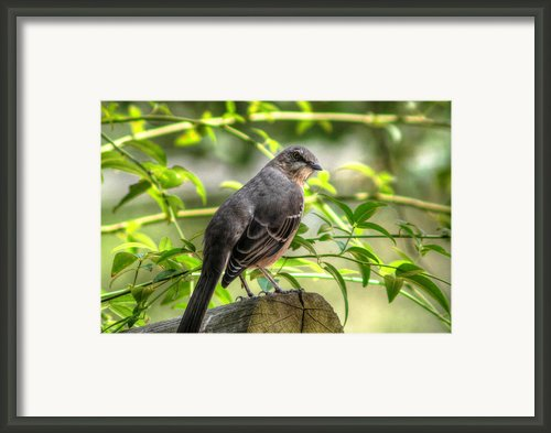 Mocking Bird Framed Print By Ester  Rogers
