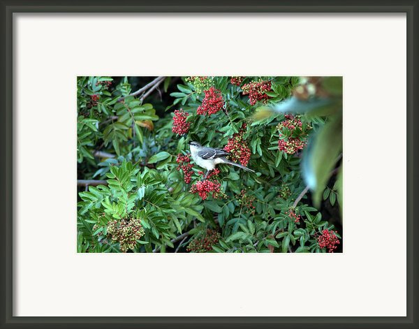 Mocking Bird Framed Print By Virginia Hagerty