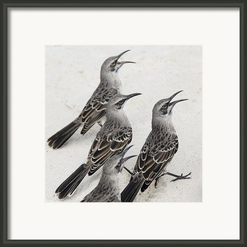 Mockingbirds Mimidae Galapagos, Equador Framed Print By Keith Levit