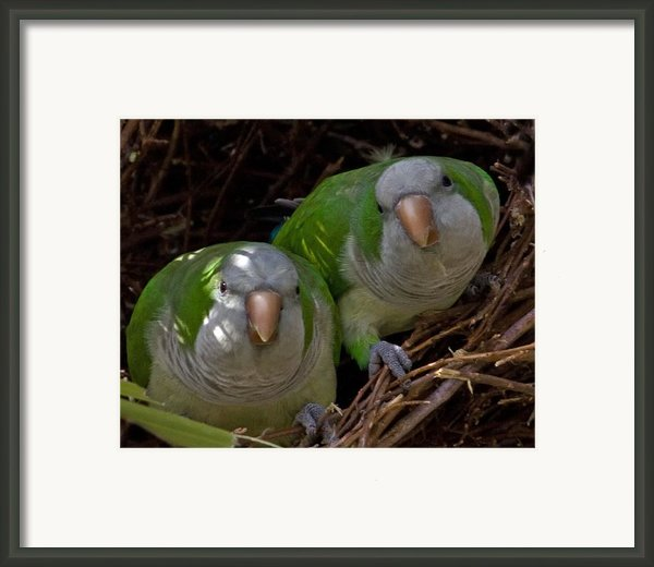 Monk Parakeet Pair Framed Print By Larry Linton