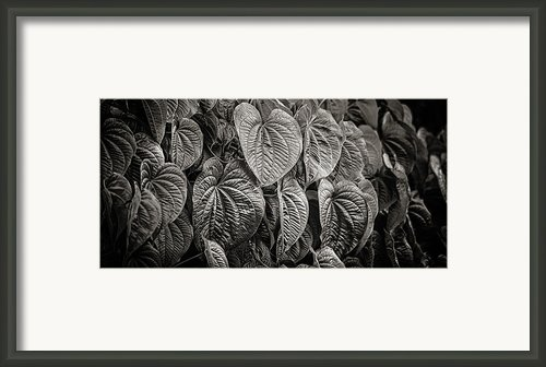 Monkey Vine Framed Print By Brenda Bryant