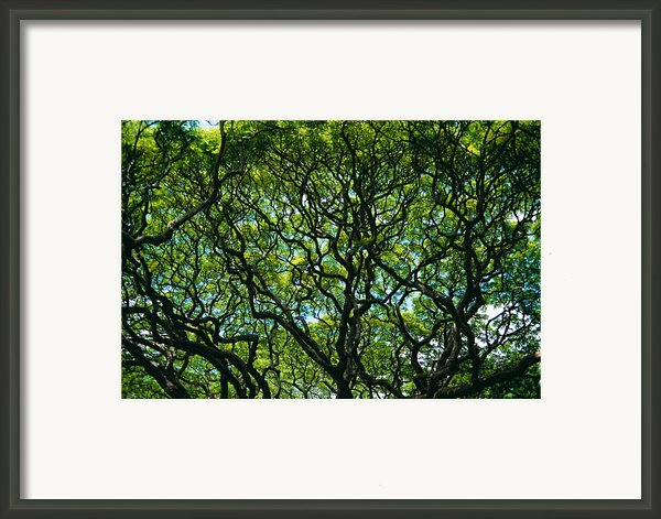 Monkeypod Canopy Framed Print By Peter French - Printscapes